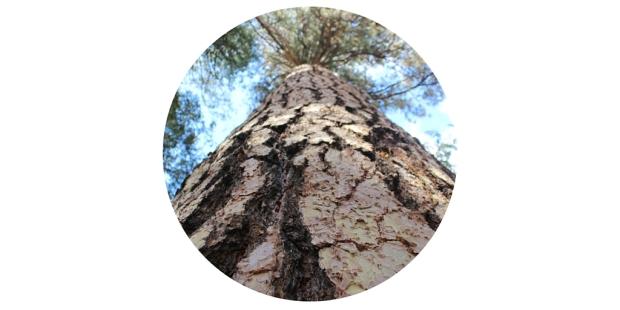muir woods tree