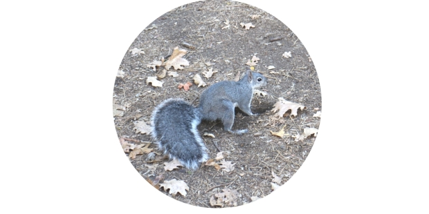 Yosemite Squirrel