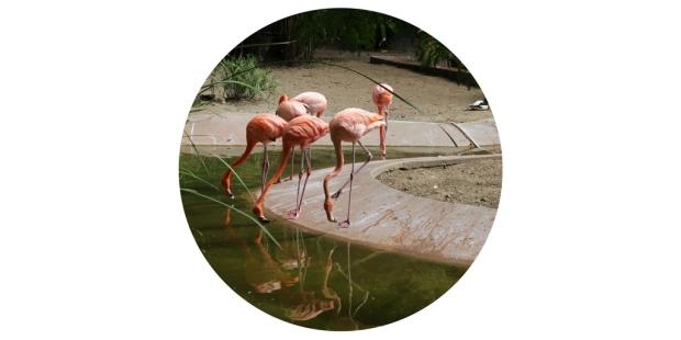 flamingos san diego zoo